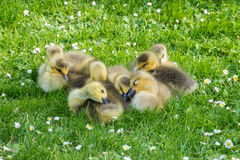 Clutch of goslings falling asleep Stock Images