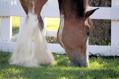 Clydesdale. Horse grazing in the grass Stock Images