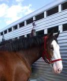 Clydesdale bij Aanhangwagen royalty-vrije stock afbeeldingen
