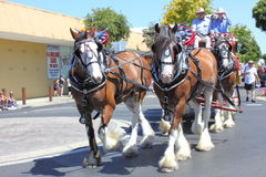 Clydesdale or draft horses on parade Stock Photo