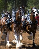 Clydesdale draught horses. A team of working Clydesdale draught horses in full harness outside Royalty Free Stock Photos