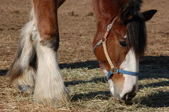 Clydesdale eating hay. Clydesdale horse of brown and white color with black mane wearing a halter eating hay stock photo