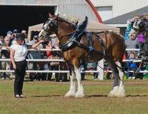 Clydesdale-Entwurfs-Pferde am Land angemessen stockfotografie