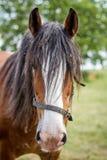 Clydesdale häst Arkivbild
