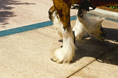 Clydesdale Hooves Royalty Free Stock Photography