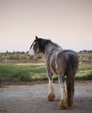 Clydesdale Horse. Majestic Clydesdale horse in profile at dusk royalty free stock photos