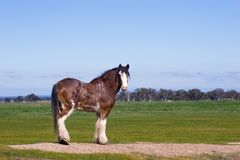 Clydesdale horse. Standing in a meadow royalty free stock photos
