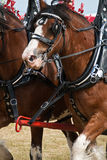 Clydesdale horse. Pulling a carriage royalty free stock image