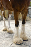 Clydesdale Horse. Closeup on the legs of a Clydesdale horse royalty free stock images