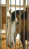 Clydesdale Horse. The head of a Clydesdale horse behind bars in a stable stock image