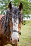 CLYDESDALE HORSE. A bay Clydesdale horse in a field stock photography