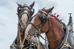 Clydesdale Horse Friends. With decorations stock images