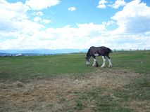 Clydesdale horse grazing. In the farm field in the summer royalty free stock photography