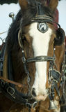 Clydesdale Horse Head. The head of a Clydesdale Horse showing harness stock image