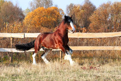 Clydesdale horse Stock Photos