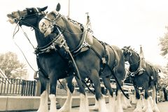 Clydesdale Horse Line Up. In Black and White royalty free stock photography