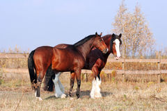 Clydesdale horse and riding horse Royalty Free Stock Photo