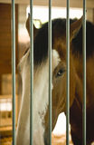 Clydesdale horse in stall. Close-up of Clydesdale horse behind bars of stall stock photography