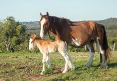 Clydesdale horse with week old foal. Clydesdale horses are very large and heavy and can pull great weights. Photographed near Hervey Bay. Australia foal only a stock photography