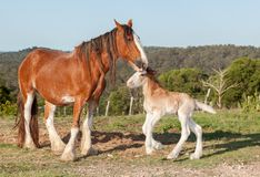Clydesdale horse with week old foal. Clydesdale horses are very large and heavy and can pull great weights. Photographed near Hervey Bay. Australia foal only a stock images