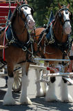 Clydesdale horses. Two clydesdale horses with a red buggy royalty free stock image
