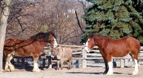 Clydesdale horses and donkey. Two Clydesdale horses and a donkey Royalty Free Stock Image