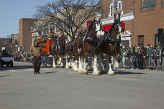 Clydesdale Horses pull beer wagon, St. Patrick's Day Parade, 2014, South Boston, Massachusetts, USA Royalty Free Stock Image