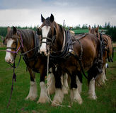 Clydesdale horses team. Clydesdale horse hoovesteam waiting to be harnessed to cart to work royalty free stock images