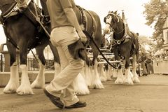 Clydesdale Horses and Worker Stock Photo