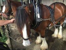Clydesdale koń Zdjęcie Royalty Free