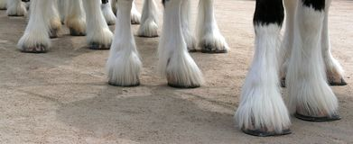 Clydesdale Line royalty free stock images