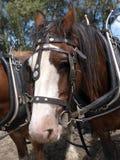 Clydesdale no chicote de fios Fotografia de Stock Royalty Free