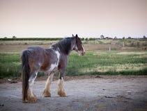 Clydesdale Pferd Lizenzfreies Stockfoto