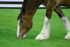 Clydesdale Pferd Lizenzfreies Stockbild