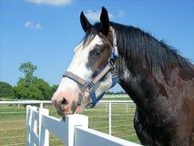 Clydesdale-Pferd auf einer Ranch Stockfoto
