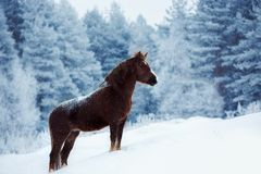 Clydesdale-Pferd, das auf einem schneebedeckten Feld im Winter staing ist lizenzfreies stockbild