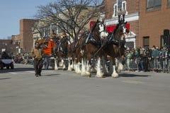 Clydesdale-Pferde ziehen Bierwagen, St Patrick Tages-Parade, 2014, Süd-Boston, Massachusetts, USA lizenzfreies stockbild