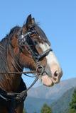 Clydesdale pronto para ir Imagens de Stock Royalty Free