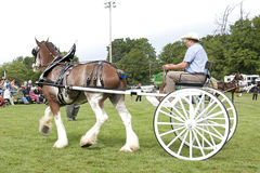 Clydesdale Pulling Cart in Competition. A Clydesdale and driver compete in the Draft Horse competition at the Port Hope Agricultural Fair held on September 17 Stock Photo
