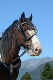 Clydesdale ready to go Stock Photo
