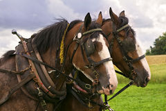 Clydesdale Team royalty free stock image