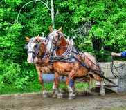 Clydesdale team pulling sled HDR. Stock Images
