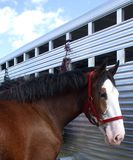 Clydesdale at Trailer. A Clydesdale horse standing next to his trailer royalty free stock images