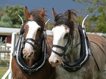 Clydesdales Stock Image