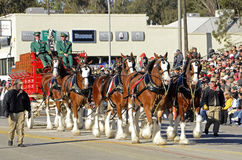 Clydesdales Immagini Stock