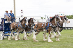 Clydesdales at Agricultural Fair stock images