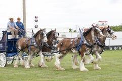 Clydesdales an der landwirtschaftlichen Messe Stockbilder