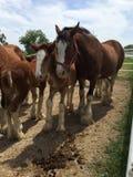 Clydesdales en el rancho de Warm Springs Imagenes de archivo