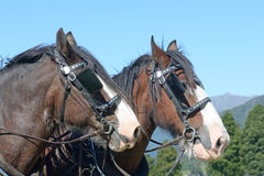 Clydesdales pronto a andare Immagini Stock