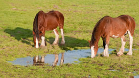 Clydesdlae Horses Grazing. This late afternoon shot of two Clydesdale Horses was taken in Sonoma, California Royalty Free Stock Photography